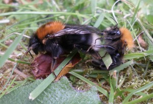 Mating tree bumble bees (Nascot Wood Bees HQ, June 2015)